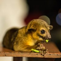 คินคาจู Kinkajou  Honey bear Potos flavus