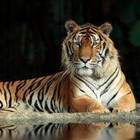 เสือโคร่ง Tiger