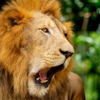สิงโต Lion