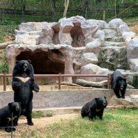 หมีควาย Asiatic black bear