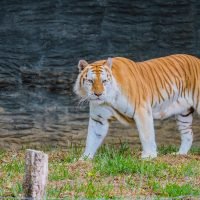 เสือโคร่งสีทอง  Golden Tabby Tiger