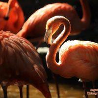 นกฟลามิงโกใหญ่  Greater Flamingo