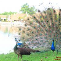 นกยูงอินเดีย Pavo cristatus