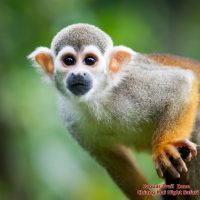 ลิงกระรอก Squirrel Monkey  Saimiri sciureus