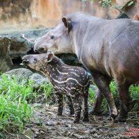 สมเสร็จบราซิล South American Tapir  Brazilian Tapir