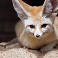 เฟนเน็คฟอกซ์  Fennec fox