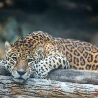 เสือจากัวร์  Jaguar  Panthera onca