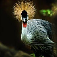 นกกระเรียนหงอนพู่ Grey Crowned-crane (Balearica regulorum)