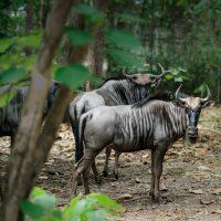 วิลเดอบีสต์  wilderbeast  wildebeest
