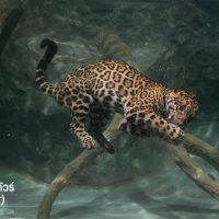 เสือจากัวร์ (jaguar) แอดมินขอยกให้เป็นเสือสุดโหดเลยก็ว่าได้ เพราะเจ้าเสือจาร์กัวมีกระโหลกที่ใหญ่มากที่สุดในสัตว์ตระกูลแมวยักษ์ทั้งหมด และมีแรงกัดถึง 1,350 PSI ซึ่งถือว่าแรงที่สุดในสัตว์ตระกูลแมวยักษ์ทั้งหมดอีกด้วย แถมมันยังฉลาดและดำน้ำเก่งพอที่สามารถฆ่าจระเข้ไคแมนกินเป็นอาหารได้ง่ายๆเลยแหละ