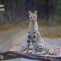 เซอร์วัล (serval) มาจากภาษาโปรตุเกสแปลว่า