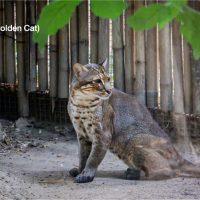 เสือไฟ (Asian Golden Cat) รูปร่างเพรียว สูงใหญ่ขนาดสุนัขพื้นเมือง ขายาว มีขนสีน้ำตาลแกมแดง ไม่มีลายและจุดดำตามตัว แต่มีเส้นดำ 2-3 เส้นวิ่งตามยาวลงมาที่หน้าผาก มักหากินในเวลากลางคืน เสือไฟอยู่ในทะเบียนสัตว์ป่าคุ้มครองของไทย ซึ่งมีการกำหนดโทษความผิดตาม พ.ร.บ.สงวนและคุ้มครองสัตว์ป่า พ.ศ.2562 ฐานกระทำต่อสัตว์สงวน โทษจำคุก 3 - 15 ปี หรือปรับตั้งแต่ 300,000-1,500,000 บาท