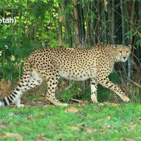 ชีตาห์ (Cheetah) แมวยักษ์ชนิดนี้จะมีรูปร่างสูงเพรียว และมีหางที่ยาวกว่าเมื่อเทียบกับสัตว์ตระกูลแมวยักษ์ทั้งหมดอีกด้วย ข้อเท็จจริงที่สำคัญที่สุดเกี่ยวกับเสือชีตาห์ก็คือพวกมันเป็นสัตว์บกที่เร็วที่สุดในโลก วิ่งเร็วแซงหน้าเพื่อน ๆในตระกูลแมวยักษ์ กันเลยทีเดียวและความเร็วอาจสูงถึง 120 กิโลเมตรต่อชั่วโมงและพวกมันมีรูจมูกขนาดใหญ่เพื่อสูดดมออกซิเจนมากขึ้นระหว่างวิ่ง