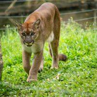เสือพูม่า (Puma) มีถิ่นกำเนิดในทวีปอเมริกา เป็นแมวรักสันโดษขนาดใหญ่ที่มีการกระจายพันธุ์กว้างที่สุดในบรรดาเพื่อนฝูง เนื่องจากพวกมันสามารถอาศัยได้ในหลากหลายสภาพอากาศและสถานที่ ไม่ว่าจะเป็นในป่า ทุ่งหญ้า ทะเลทราย หรือแม้กระทั่งในหุบเขาหิมะ ด้วยความเป็นนักล่าที่มีความสามารถในการย่องเงียบและซุ่มโจมตี ทำให้แมวยักษ์ตัวนี้สามารถล่าเหยื่อได้หลากหลาย