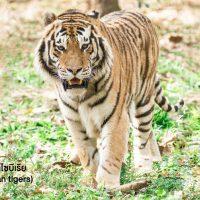 เสือโคร่งไซบีเรีย (Siberian tigers) เป็นแมวยักษ์ที่มีน้ำหนักตัวเยอะที่สุดและมีพละกำลังเยอะสุดเมื่อเทียบกับเพื่อน ๆ ในสกุล แม้จะได้ชื่อว่าเสือโคร่งไซบีเรีย แต่ถิ่นที่อยู่อาศัยของพวกมันอยู่ในบริเวณผืนป่าที่หนาวเย็น ทางตะวันออกของรัสเซีย และเป็นชนิดพันธุ์ของเสือโคร่งที่เสี่ยงต่อการสูญพันธุ์อย่างมาก จากประชากรที่สำรวจได้ในปัจจุบันพบราว 400 ถึง 500 ตัว