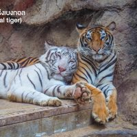 เสือโคร่งเบงกอล (bengal tiger) มีถิ่นที่อยู่อาศัยตั้งแต่ประเทศตุรกี ยาวถึงด้านตะวันออกของรัสเซีย ชอบอยู่ตามลำพัง นิสัยของมันเมื่อเทียบกับแมวยักษ์ในสกุลเสือโคร่งจะมีความดุร้ายน้อยที่สุด สถานะปัจจุบันคาดว่าเหลืออยู่ประมาณ 3,000 ตัว ในธรรมชาติ