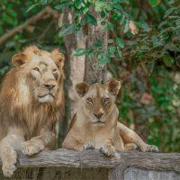 สิงโต (Lion) สัตว์ที่สูงที่สุด (สูงจรดหัวไหล่) และเป็นสมาชิกเพียงชนิดเดียวในวงศ์เสือและแมวที่แสดงความแตกต่างระหว่างเพศอย่างชัดเจน และแต่ละเพศก็จะบทบาทพิเศษต่างกันไปในฝูง ในกรณีสิงโตเพศเมีย ที่เป็นนักล่าจะไม่มีแผงคอหนาเป็นภาระเช่นในเพศผู้ สิงโตนั้นเป็นสัตว์ที่อยู่กันเป็นฝูง และเป็นนักล่าที่มีความฉลาดคอยย่องเข้าโจมตีเหยื่ออย่างรวดเร็วและฉับไว และสิงโตมีขนาดตัวที่ใหญ่มากรองจากเสือโคร่ง และนี่เองคือที่มาของฉายา