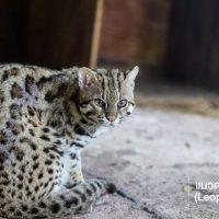 แมวดาว (Leopard Cat) เป็นแมวป่าที่พบได้ง่ายที่สุดในเมืองไทยและในเอเชียตะวันออกเฉียงใต้ มีขนาดเล็กใกล้เคียงแมวบ้าน แต่ขายาวกว่าเล็กน้อย มีลายจุดทั่วทั้งตัว สีลำตัวต่างกันไปในแต่ละพื้นที่ พวกมันสัตว์ที่มีการปรับตัวอาศัยในป่าได้หลากหลายเช่นป่าดิบเขา ป่าเบญจพรรณพื้นที่เกษตรกรรมฯลฯ แมวดาวปีนต้นไม้ได้เก่ง ชอบอาศัยอยู่ใกล้แหล่งน้ำ อาหารหลักของแมวดาวคือสัตว์เลี้ยงลูกด้วยน้ำนมขนาดเล็ก นอกจากนี้ยังกิน นก สัตว์เลื้อยคลาน ปลา สัตว์ครึ่งบกครึ่งน้ำ และแมลง