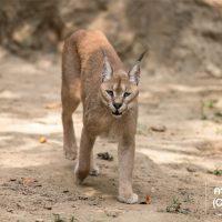 คาราคัล (Caracal)  แมวยักษ์ที่ภายนอกดูน่ารัก แต่แท้จริงแล้วมันเป็นแมวป่าที่มีสัญชาตญาณของสัตว์ป่าอยู่เต็มเปี่ยม จะออกล่าสัตว์ในเวลากลางคืนเท่านั้น คำว่า คาราคัล มาจากคำในภาษาตุรกี