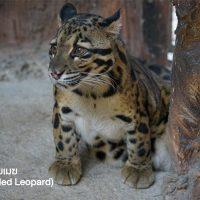 เสือลายเมฆ (Clouded Leopard) มีลักษณะคล้ายเสือดาวแต่ตัวเล็กกว่า และรูปร่างเตี้ยป้อม ลำตัวมีสีน้ำตาลแกมเขียว และมีลายเป็นวงใหญ่คล้ายก้อนเมฆทั่วตัว เป็นที่มาของชื่อมันนั่นเอง หากินบนต้นไม้มากกว่าตามพื้น จัดอยู่ในประเภทสัตว์ป่าใกล้สูญพันธุ์ของโลก รวมถึงประเทศไทยอยู่ในลำดับที่ 34 ของสัตว์ป่าใกล้สูญพันธุ์ พบกับแมวยักษ์หายากตัวนี้ได้ในโซนเดินชมสัตว์ที่ใกล้จะเปิดเร็ว ๆ นี้