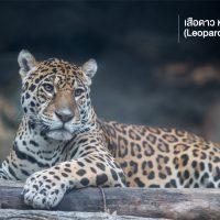 เสือดาว หรือเสือดำ (Leopard) คนมักเข้าใจผิดว่าเสือดาวกับเสือดำเป็นเสือต่างชนิดกัน แต่ความจริงแล้วมันเป็นเสือชนิดเดียวกัน ถ้าสังเกตให้ดีจะพบว่าเสือดำก็มีลายเช่นเดียวกับเสือดาวแต่จะมองเห็นได้ยากกว่า แมวยักษ์ตัวนี้ชอบใช้ชีวิตบนต้นไม้แถมยังเคลื่อนที่ว่องไวเอามาก ๆ จากสถิติการทำร้ายคนในอินเดียและแอฟริกา เสือดาวขึ้นชื่อว่าเป็นเสือที่มีความดุร้ายมากที่สุดในบรรดาแมวยักษ์ทั้งหมด แต่น่าแปลกใจที่มนุษย์ก็ยังสามารถทำร้ายมันได้