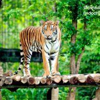 เริ่มจากตัวแรก เสือโคร่งอินโดจีน (Indochinese tiger) จากการวิจัยทางพันธุกรรมชี้ให้เห็นว่า เสือโคร่งอินโดจีนอาจเป็นบรรพบุรุษของเสือโคร่งทุกชนิดพันธุ์ ก่อนที่สายพันธุ์เสือโคร่งจะแตกแขนงเป็นชนิดพันธุ์ต่าง ๆเมื่อราว 108,000 -72,000 ปีที่ผ่านมา